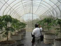 Viral resistant papayas in isolated in greenhouse, BIOTECH Thailand